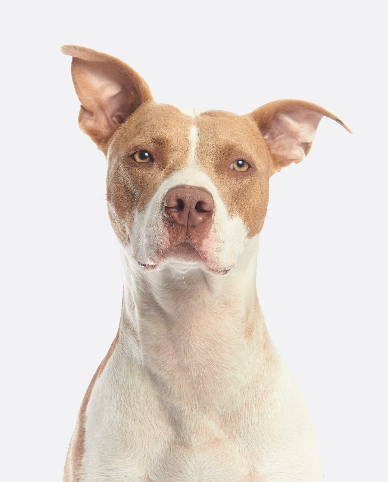 Free stock photo of american pitbull, american pitbull terrier, azumi, pitbull