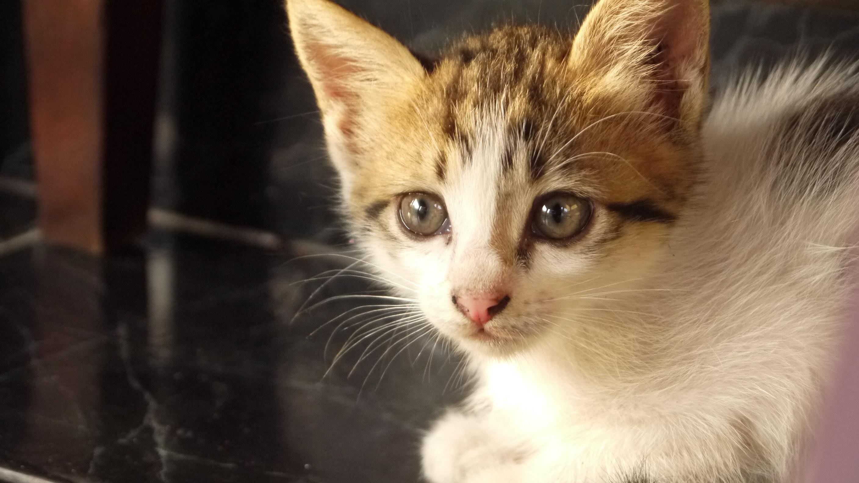 Free stock photo of animal, cat face, kitten