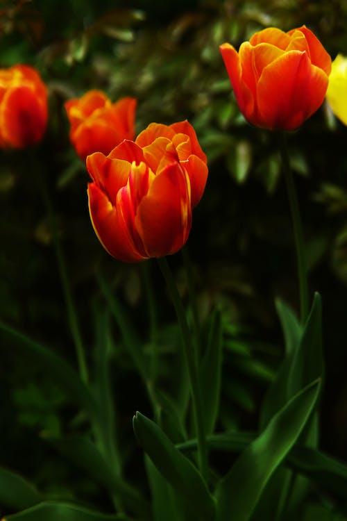 Základová fotografie zdarma na téma léto, tráva, tulipán