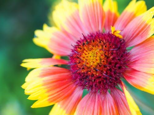 Fotobanka sbezplatnými fotkami na tému červené kvety, červený kvet, divé kvety