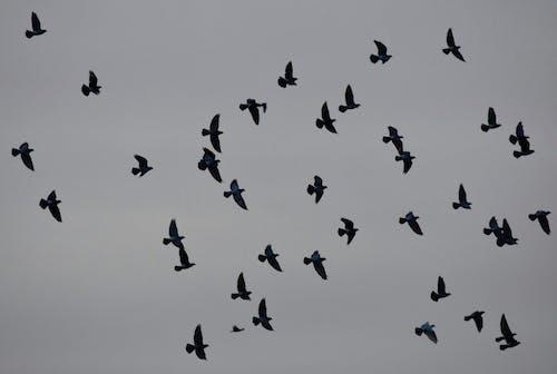 Gratis lagerfoto af baggrund, due, fauna, grå