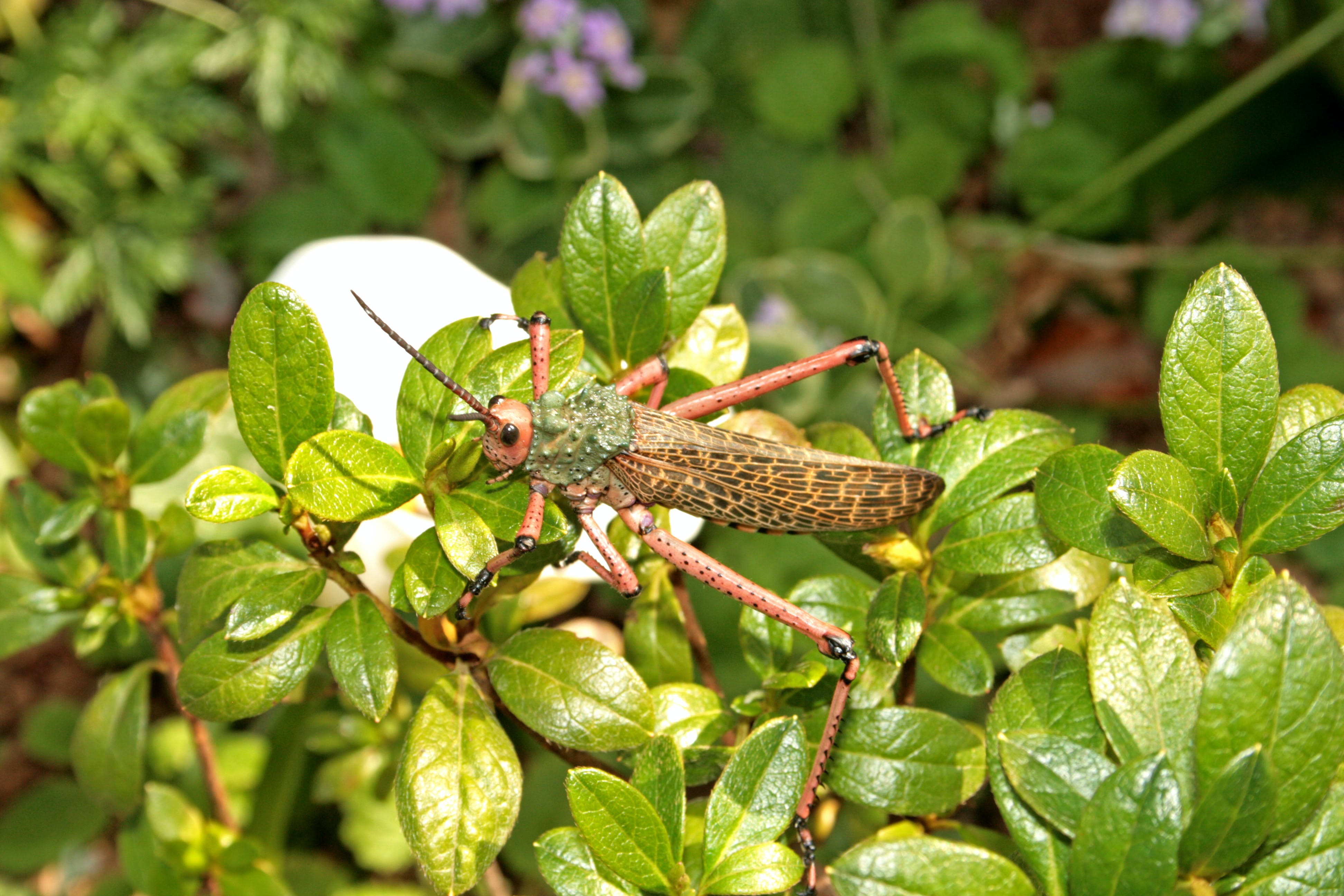 Free stock photo of nature, leaves, insect, grasshopper