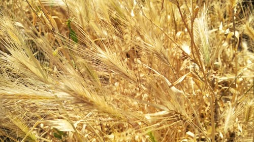 Free stock photo of barley, daytime, dried