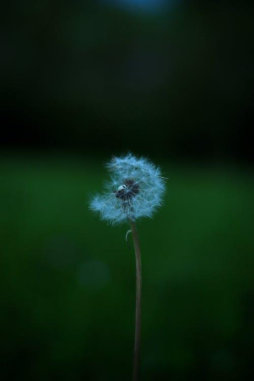 White Dandelion on Brown Stem