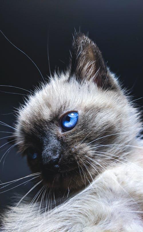 Gratis arkivbilde med blå øyne, dyr, dyr øye