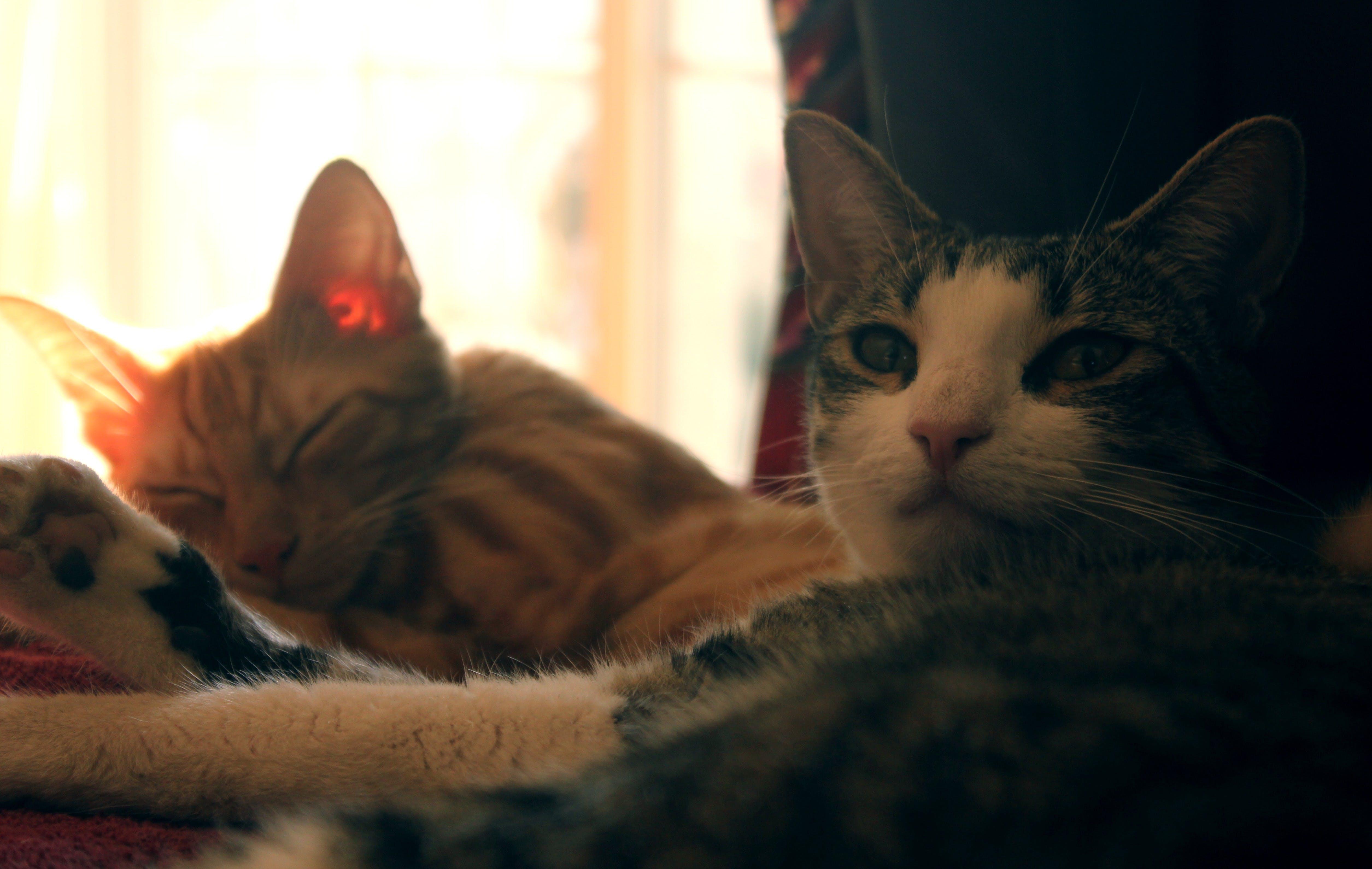 Two Orange and Gray Cat
