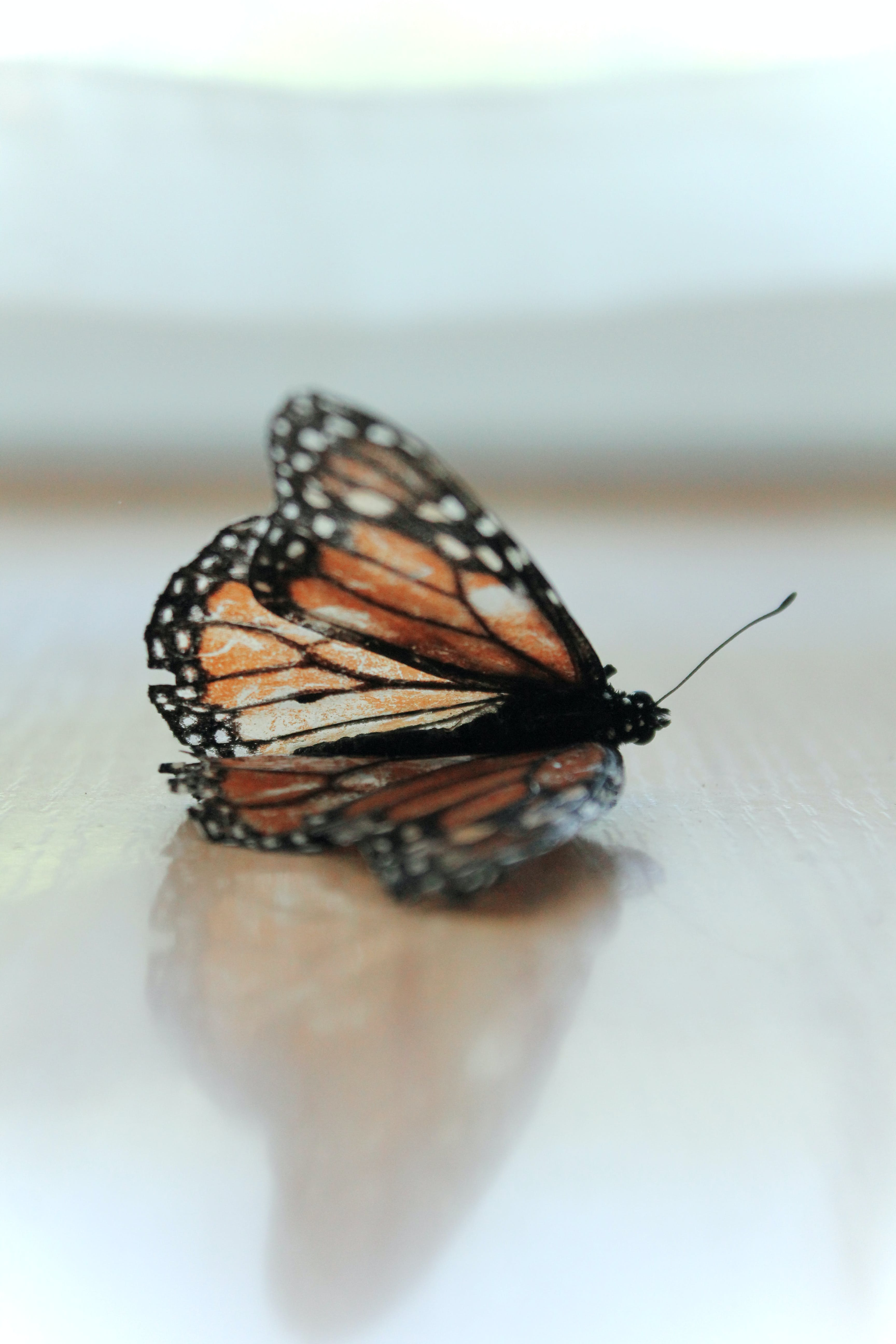Monarch Butterfly on Brown Surface in Closeup Photo