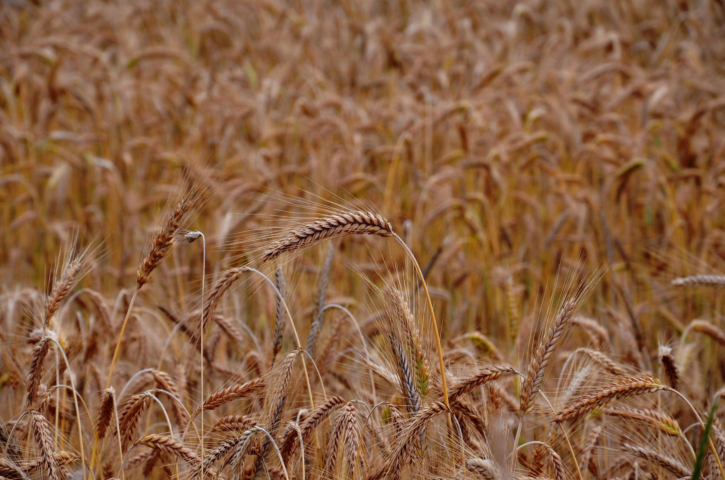 Closeup Photo of Brown Wheat Plants