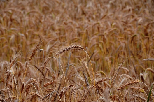 Free stock photo of field, agriculture, wheat