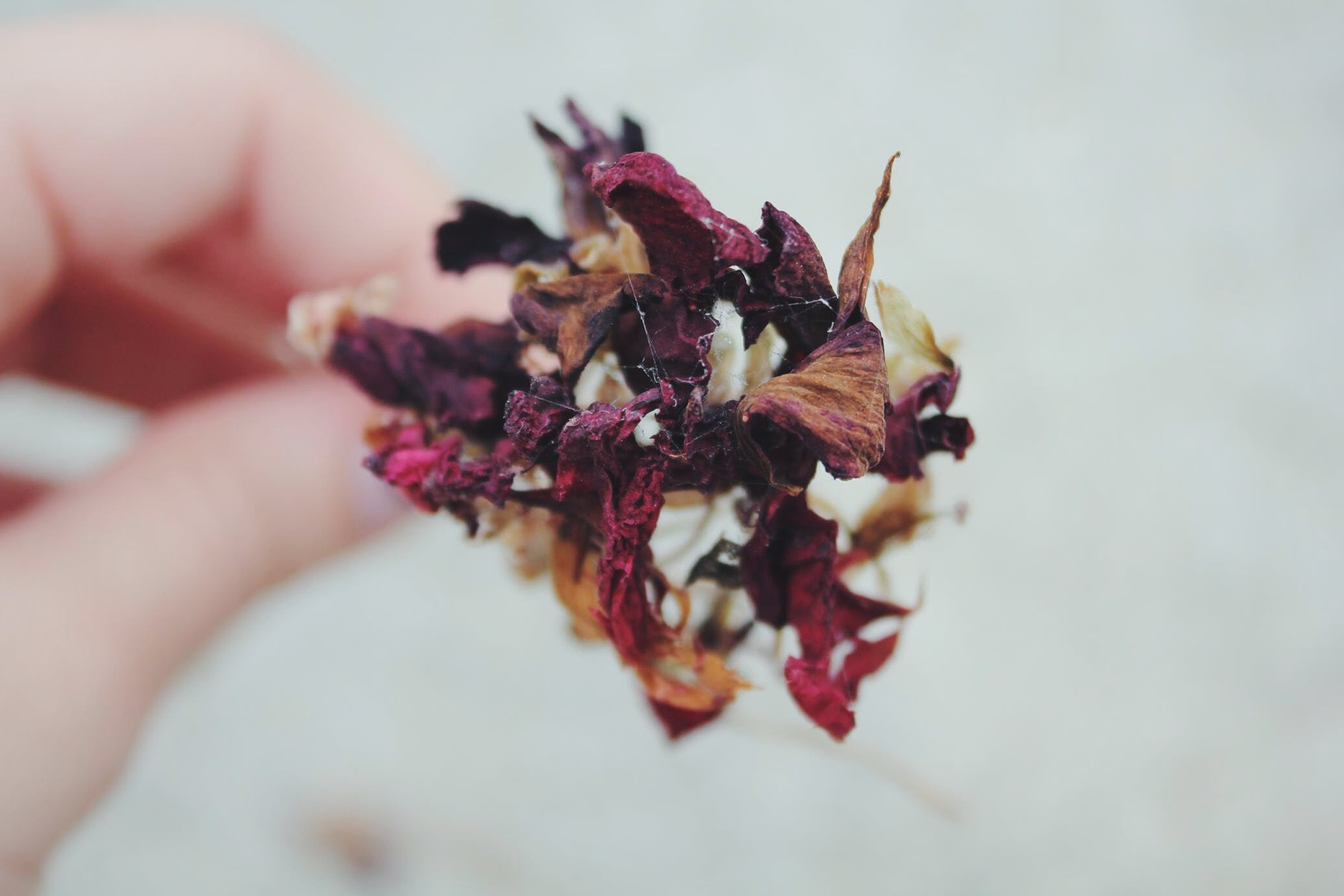 Person Holding Dried Red, Brown, and White Flower