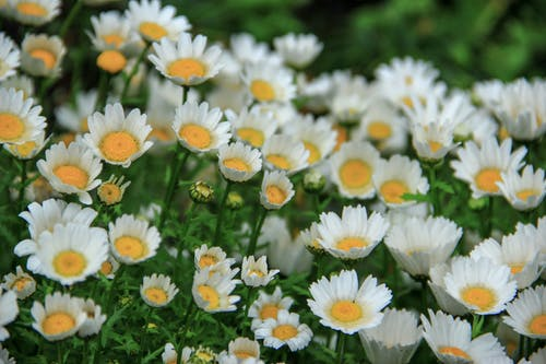 Garden of White Chamomile Flowers