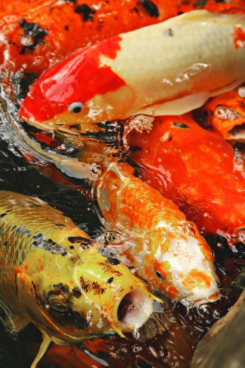 Immagine gratuita di acqua, aragosta, carpa