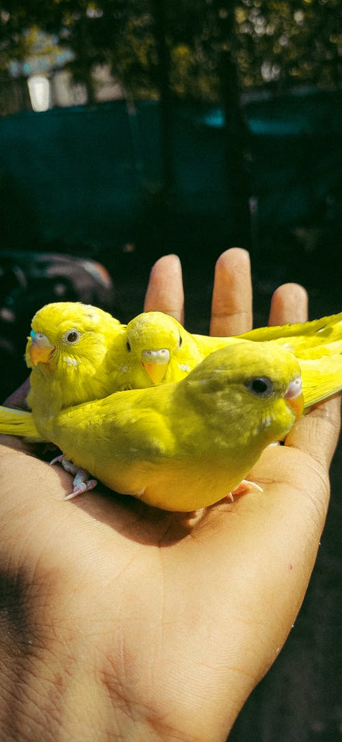Free stock photo of animal lover, budgies, instagram