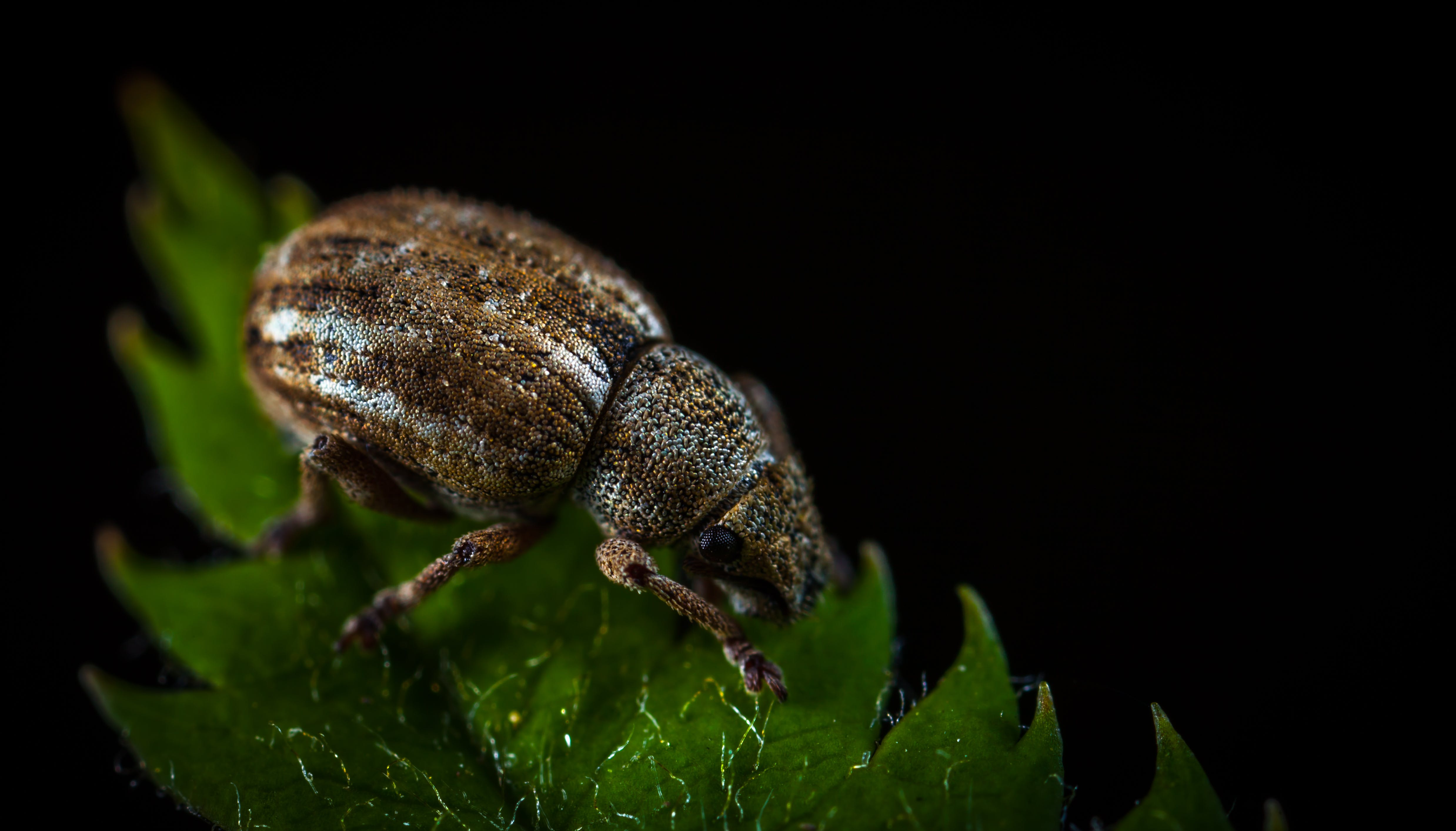 Macro Photography of Brown Weevil on Green Leaf