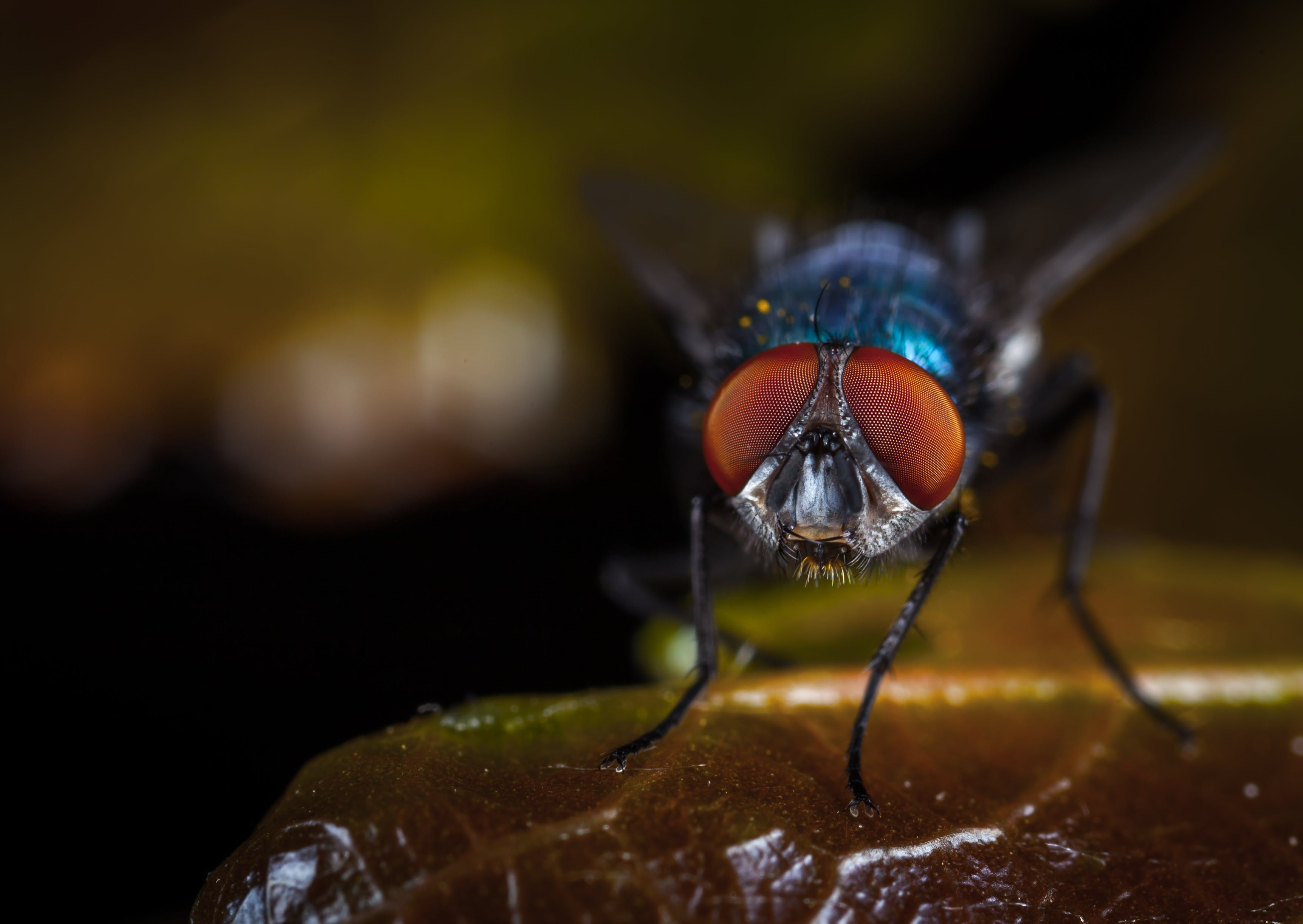 Macro Photography of Fly Perched on Brown Leaf