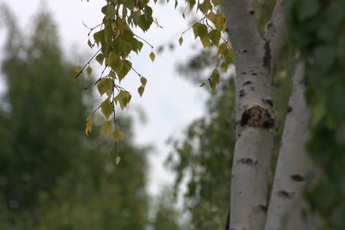Photos gratuites de arbres, bjork