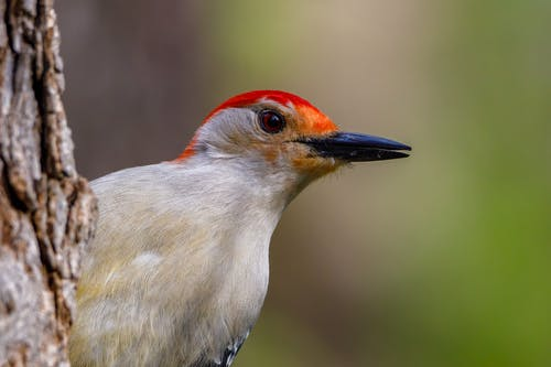 Red Bellied Woodpecker in Close Up