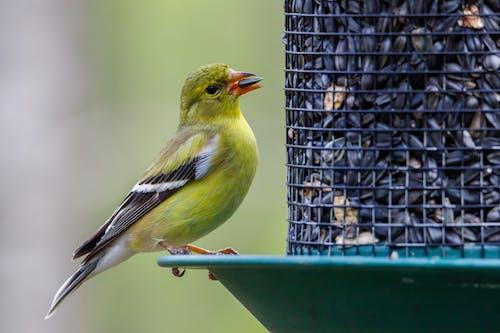 American Goldfinch Bird Eating Black Seed