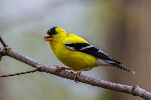 American Goldfinch Perched on Tree Branch