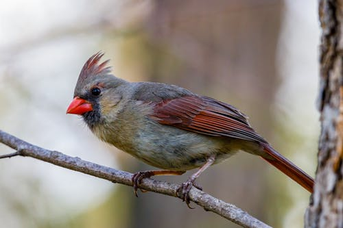 Cardinal Bird Perched on Brown Tree Branch