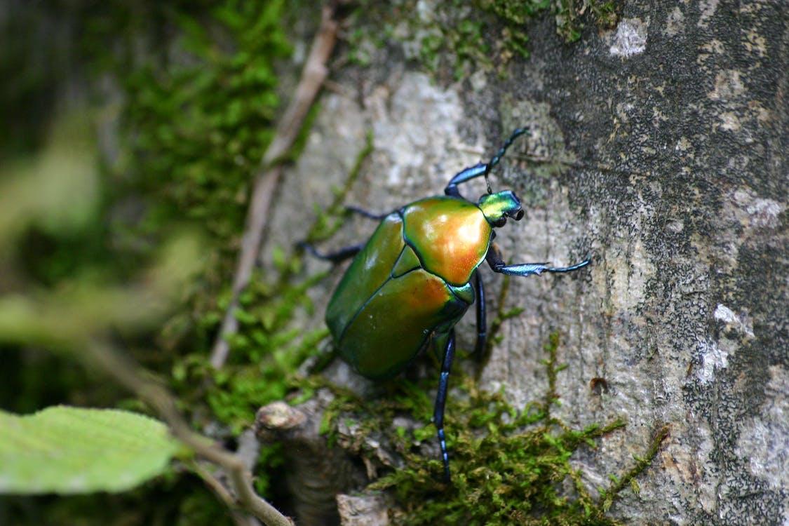 alas, animal, Beetle