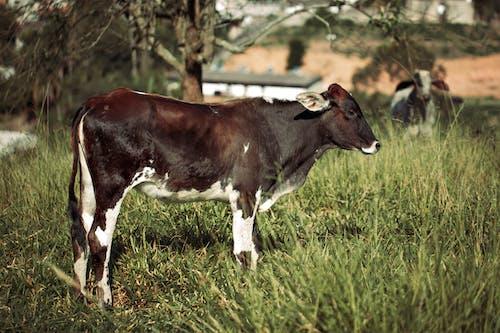 Fotobanka sbezplatnými fotkami na tému býk, cicavec, dedinský