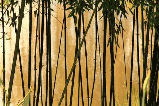 Selective Photography of Bamboo Trees