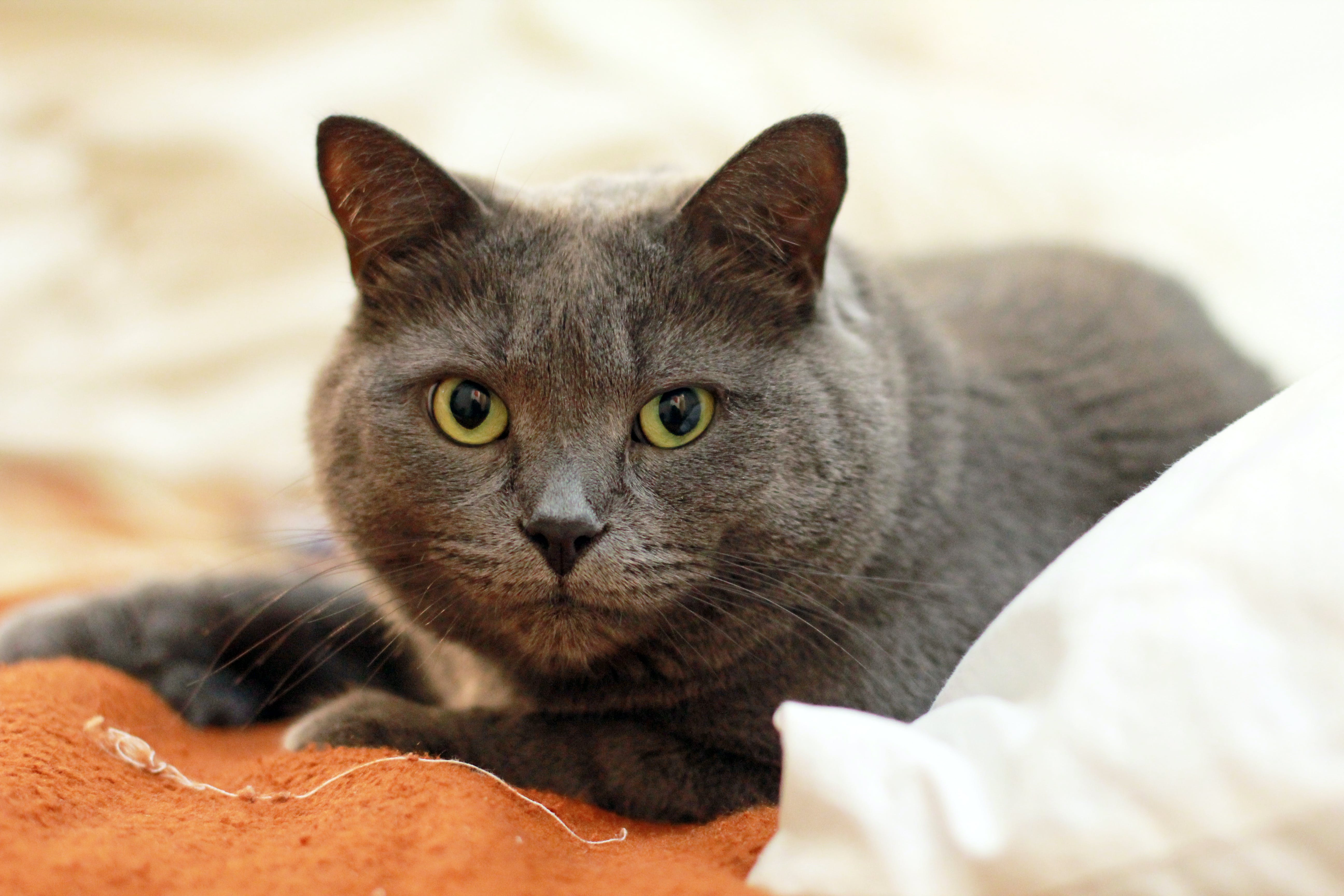 Russian Blue Cat on Top of Orange and White Textile