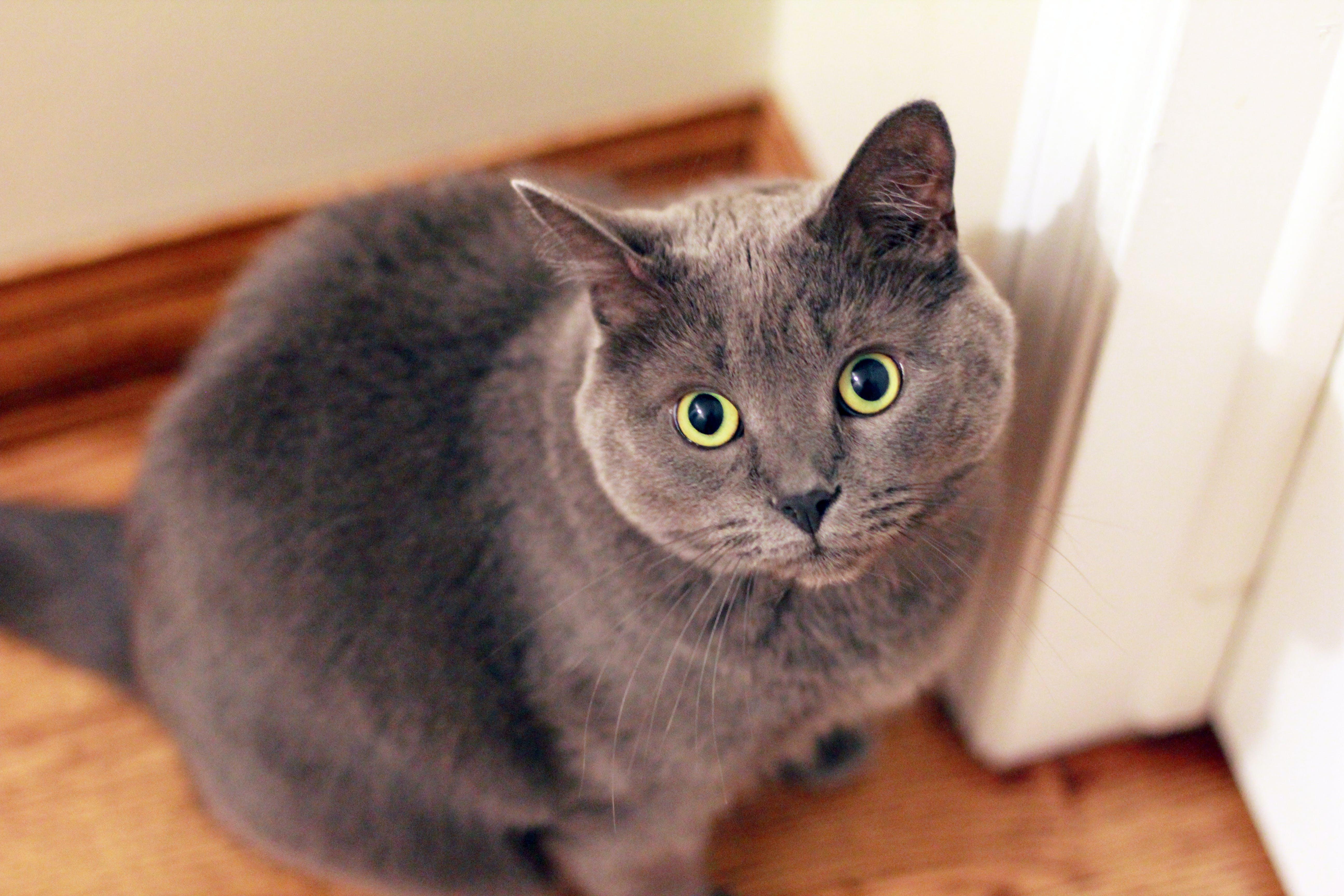 Gray Short-fur Cat Near White Door
