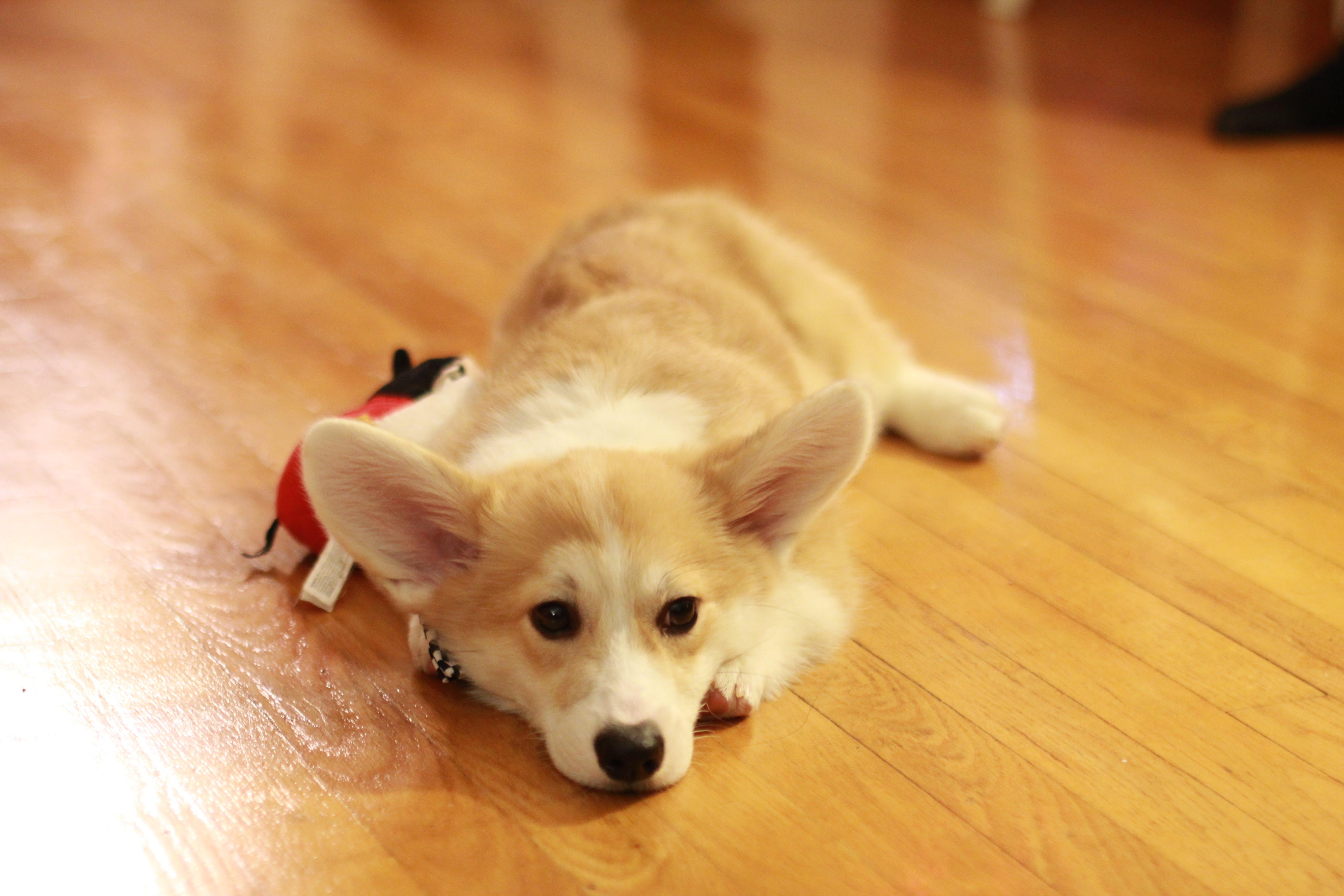 Free stock photo of animal, close-up, corgi, dog
