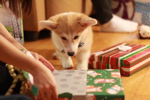 Free stock photo of animal, christmas present, close-up, corgi