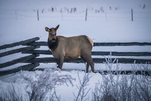 公牛, 冬季, 冰 的 免費圖庫相片