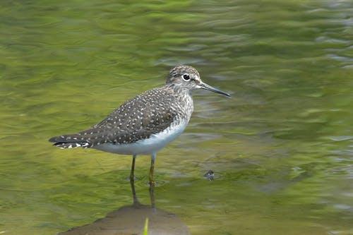 Free stock photo of avian, bird, marsh