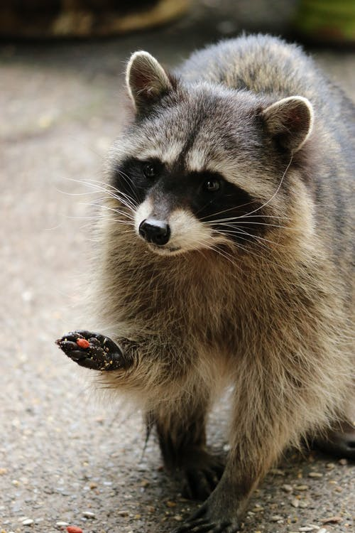 Close Up Photo of a Racoon