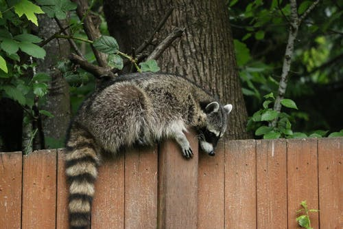 Raccoon on Wooden Fence