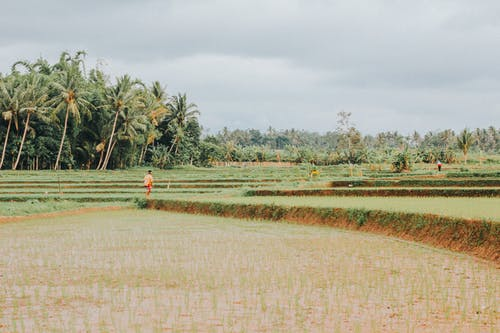 Fotos de stock gratuitas de agricultura, árbol, arroz