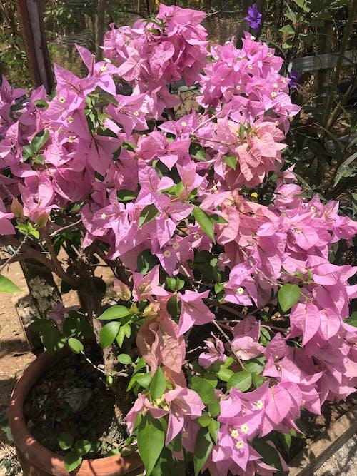 Photos gratuites de centrale, fleurs roses, magnifiques fleurs