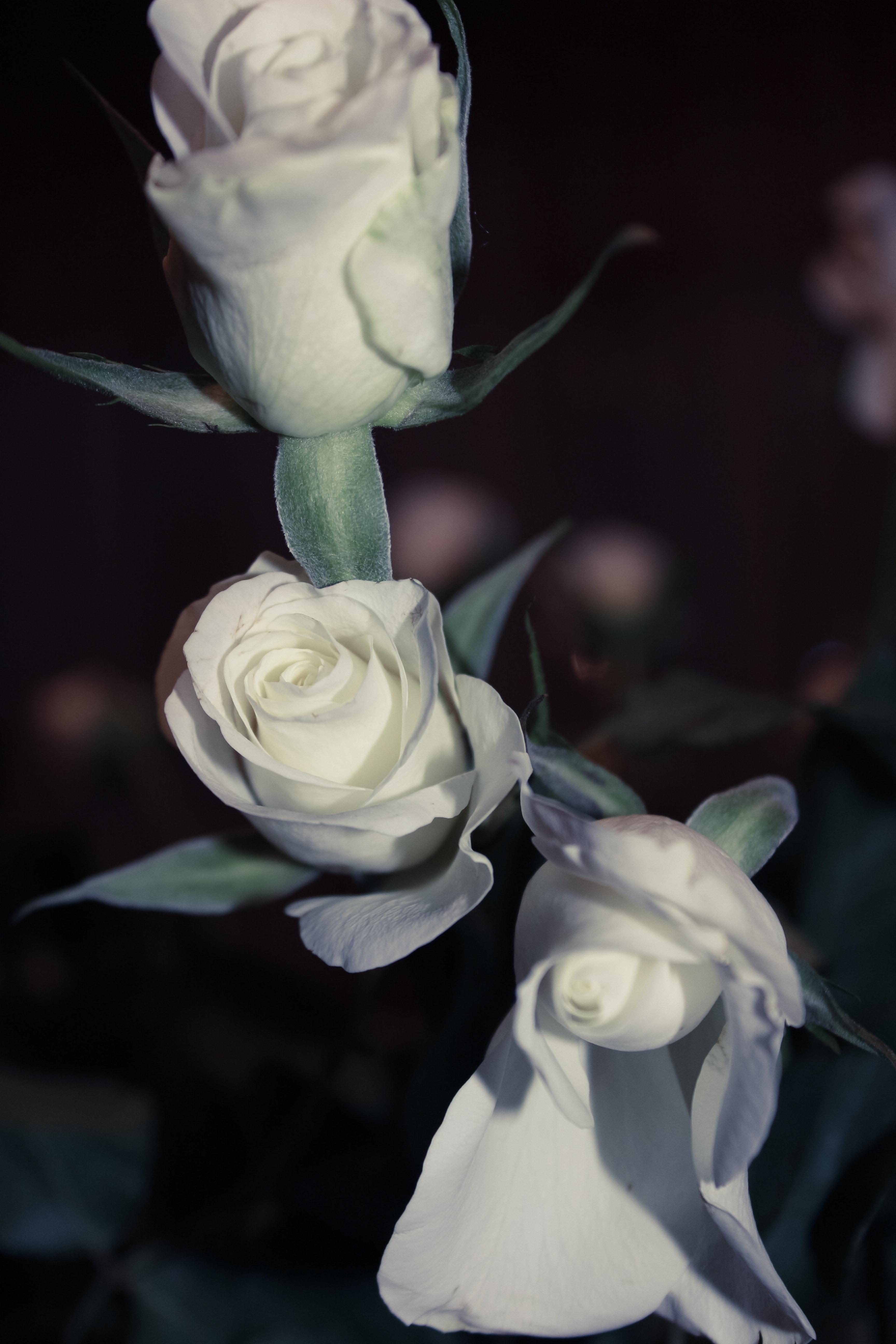 Foto Stok Gratis Tentang Bunga Mawar Putih