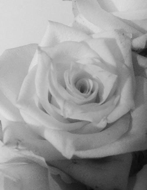 Free stock photo of vintage, vintage style white rose, white rose