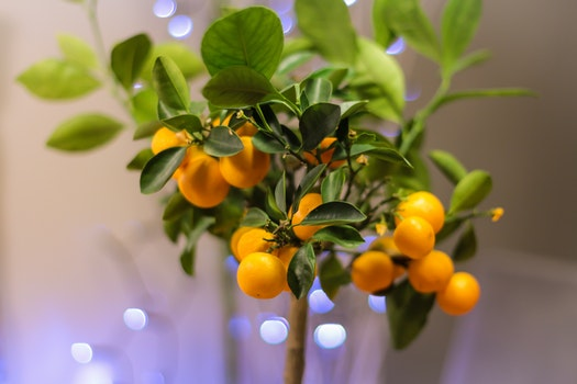 Cose Up Photo of Orange Fruit Bonsai