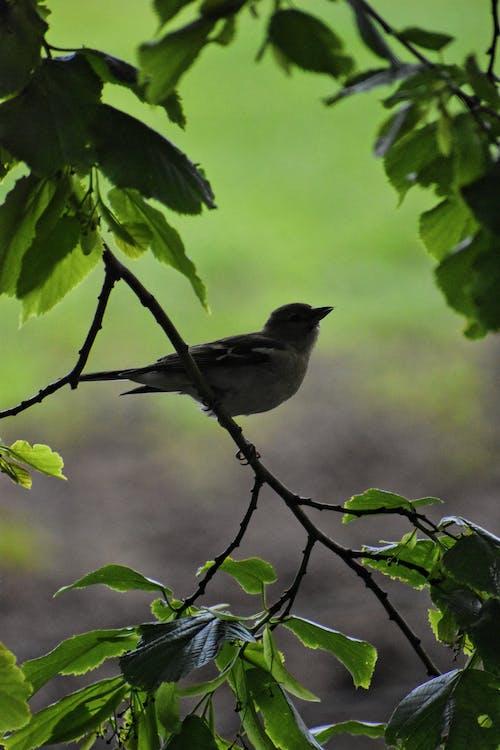 Free stock photo of bird, dark green leaves, tree