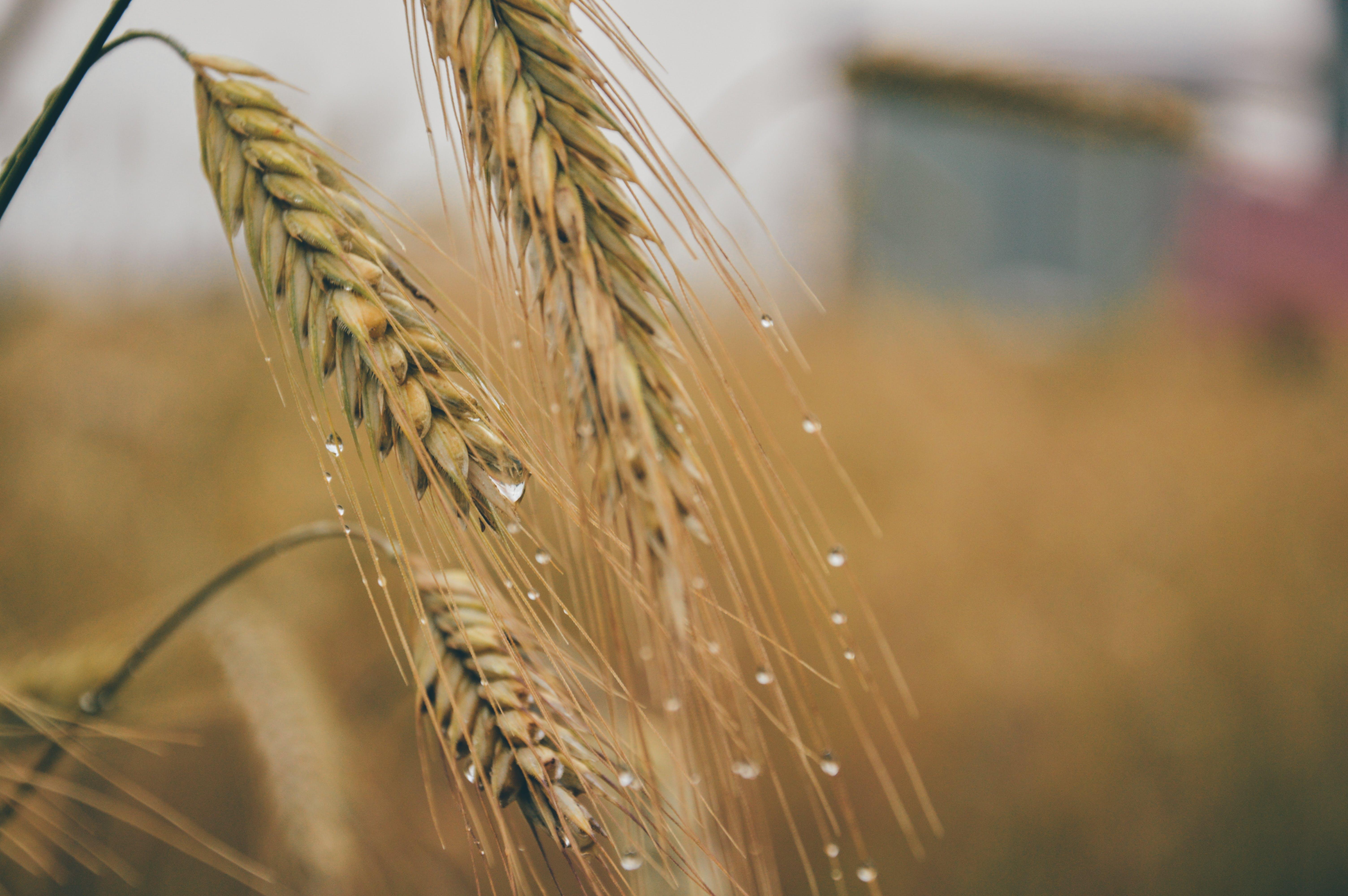 agriculture, barley, corn