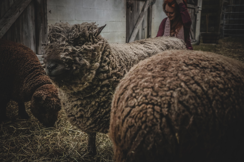Three Sheep in Barn