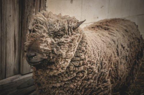 公羊, 動物, 動物攝影, 哺乳動物 的 免费素材照片