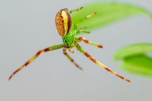 Macro Shot of a Green Crab Spider