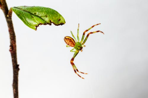 Close-Up Photo of a Hanging Green Crab Spider