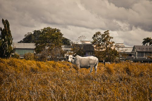Kostenloses Stock Foto zu bauernhof, farm, gelber reis