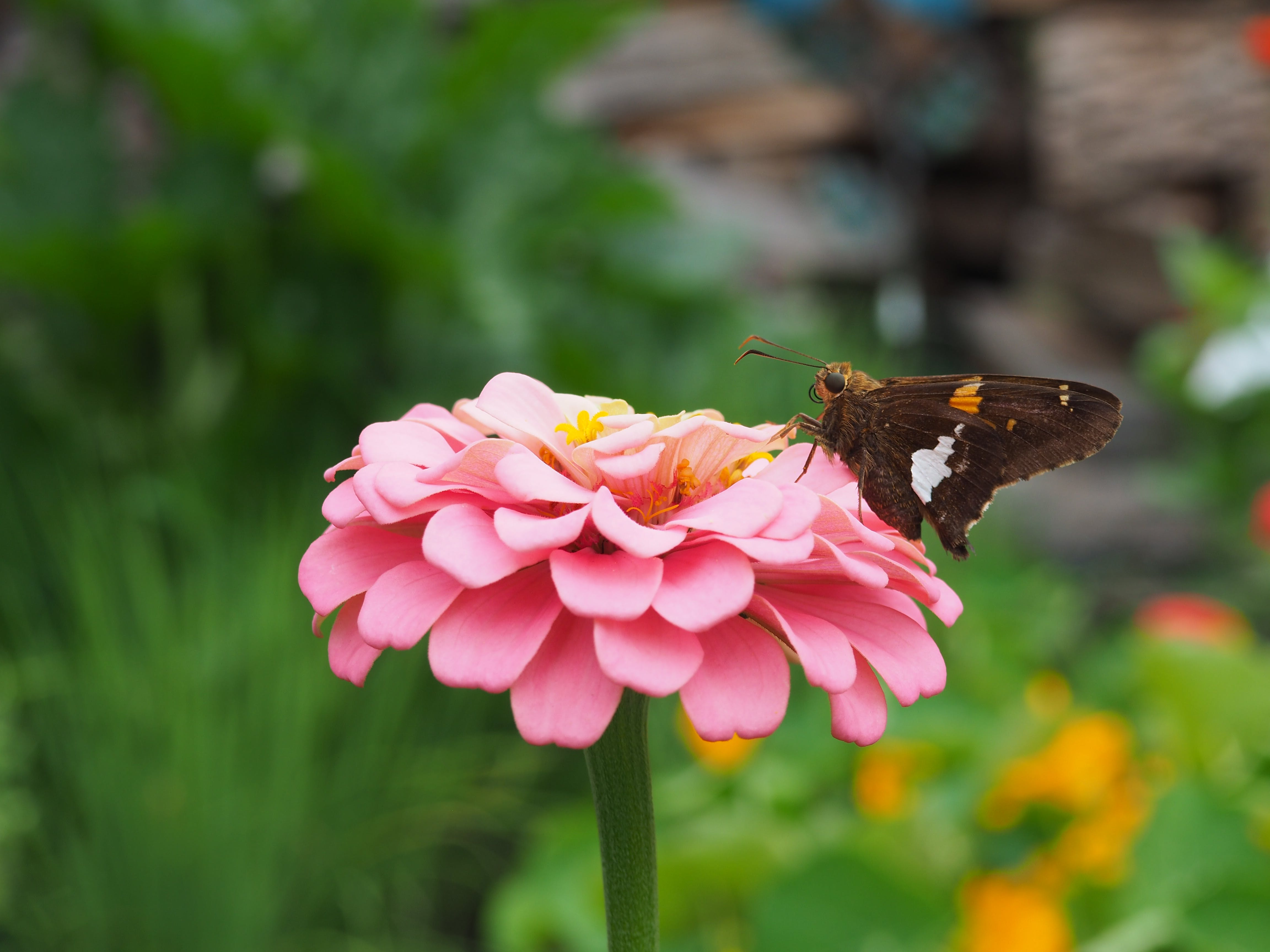 Free stock photo of beautiful flowers, butterfly, butterfly on a flower, flower