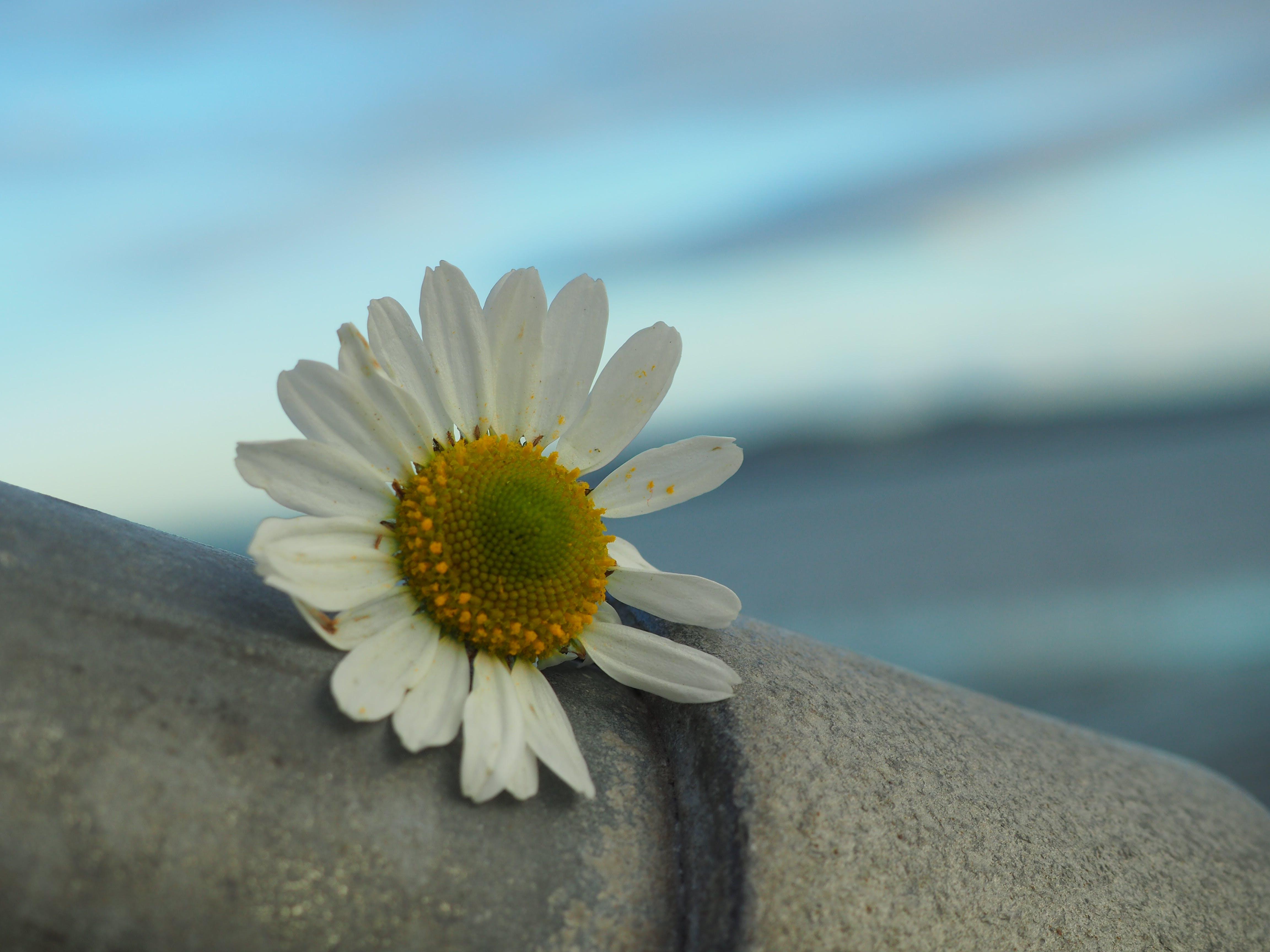 Free stock photo of beautiful flowers, bull island, clontarf, daisy