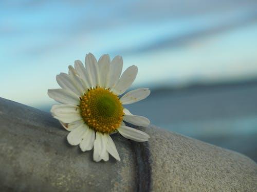 克隆塔夫, 公牛岛, 愛爾蘭, 美麗的花朵 的 免费素材照片